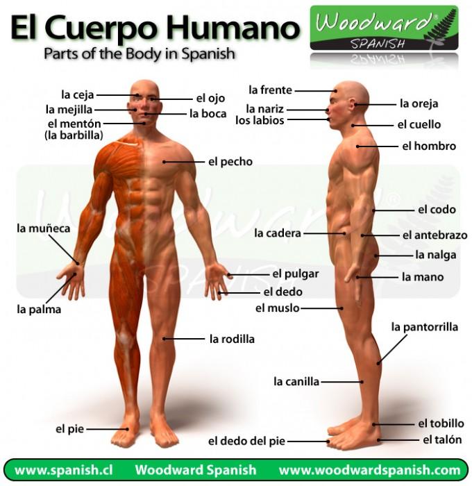 Partes del cuerpo humano en español