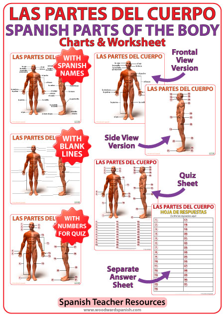 Las partes del cuerpo humano en español - Parts of the body in Spanish - Charts and Worksheet